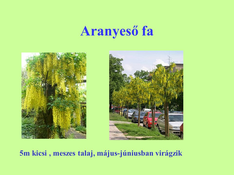 Aranyeső fa 5m kicsi , meszes talaj, május-júniusban virágzik