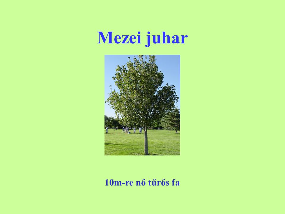 Mezei juhar 10m-re nő tűrős fa