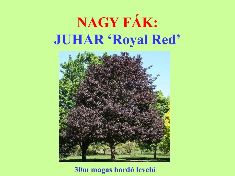 NAGY FÁK: JUHAR 'Royal Red'
