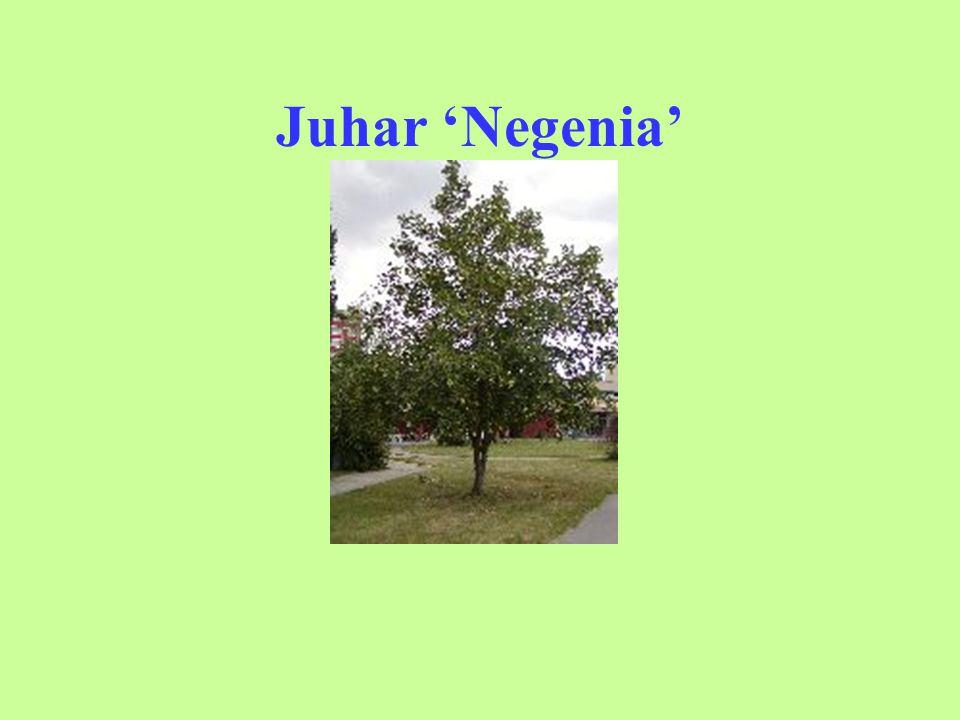 Juhar 'Negenia'