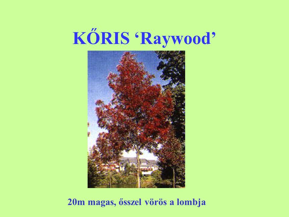 KŐRIS 'Raywood' 20m magas, ősszel vörös a lombja