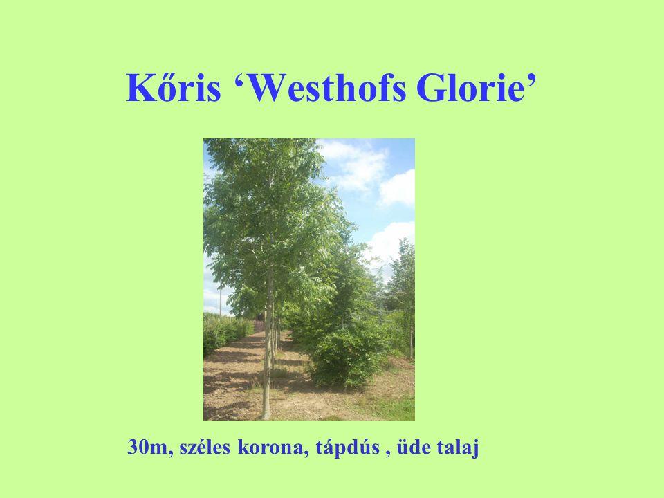 Kőris 'Westhofs Glorie'