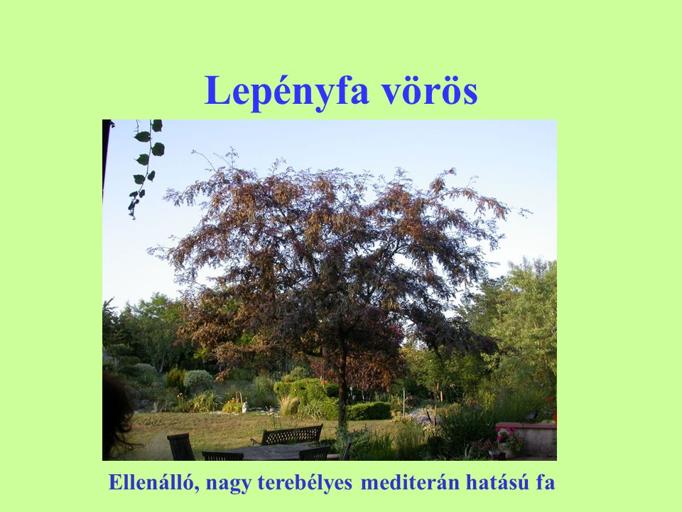 Lepényfa vörös Ellenálló, nagy terebélyes mediterán hatású fa