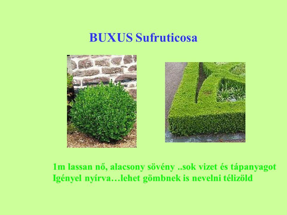 BUXUS Sufruticosa 1m lassan nő, alacsony sövény ..sok vizet és tápanyagot.