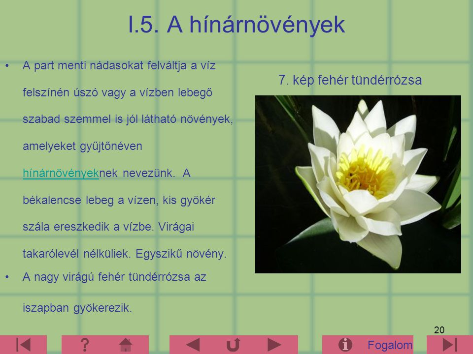 I.5. A hínárnövények 7. kép fehér tündérrózsa