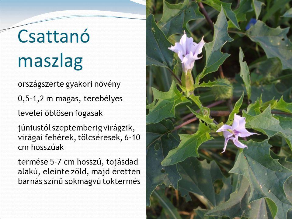 Csattanó maszlag országszerte gyakori növény
