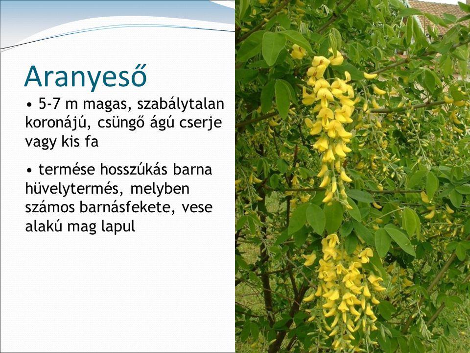 Aranyeső 5-7 m magas, szabálytalan koronájú, csüngő ágú cserje vagy kis fa.