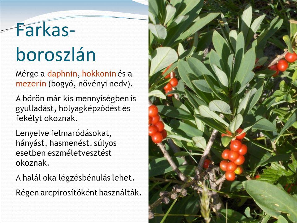 Farkas-boroszlán Mérge a daphnin, hokkonin és a mezerin (bogyó, növényi nedv).