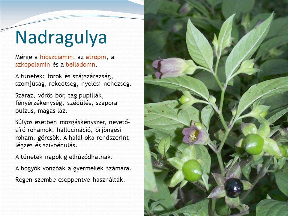 Nadragulya Mérge a hioszciamin, az atropin, a szkopolamin és a belladonin.