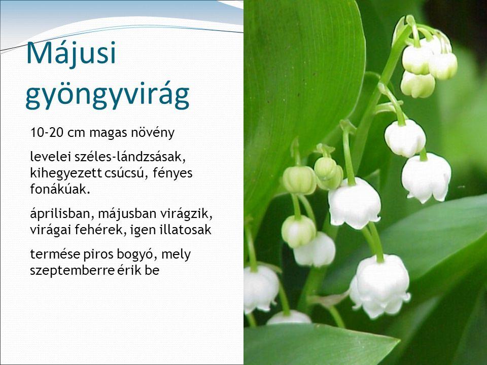 Májusi gyöngyvirág 10-20 cm magas növény