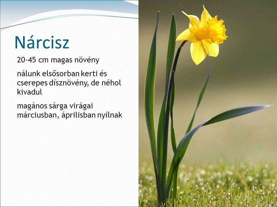 Nárcisz 20-45 cm magas növény