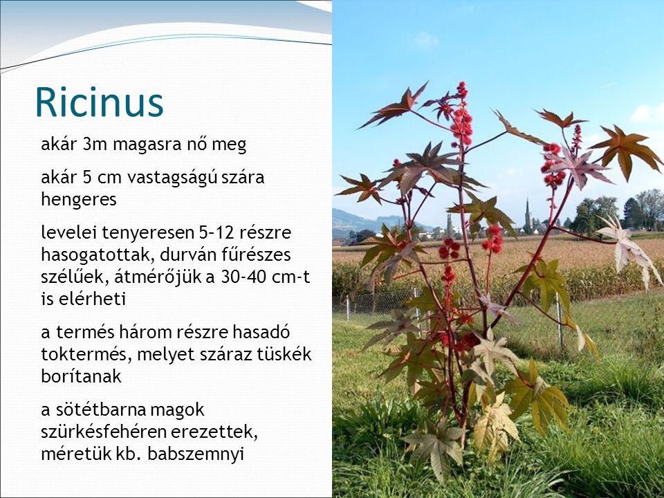 Ricinus akár 3m magasra nő meg akár 5 cm vastagságú szára hengeres