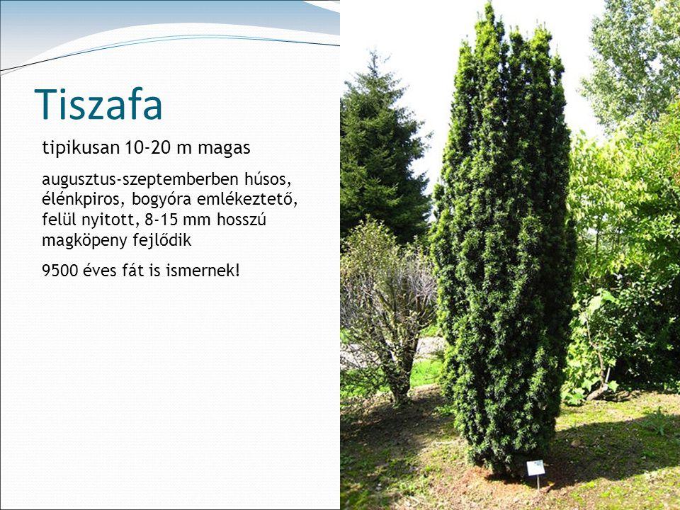 Tiszafa tipikusan 10-20 m magas