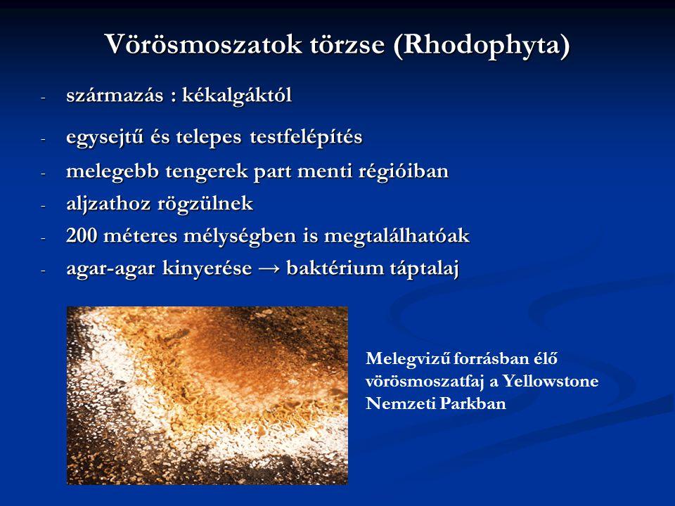 Vörösmoszatok törzse (Rhodophyta)