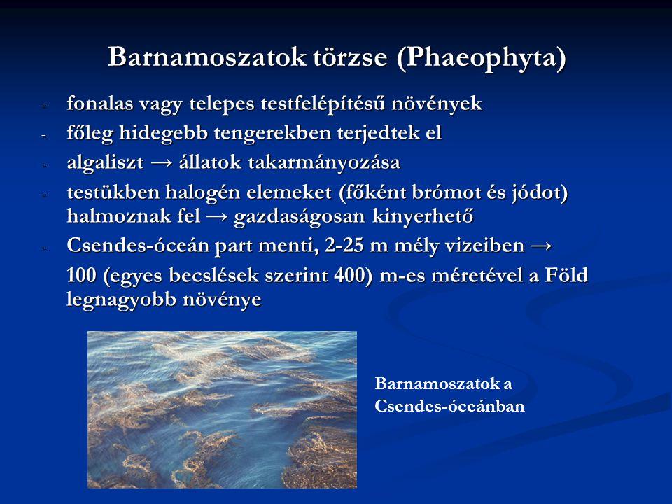 Barnamoszatok törzse (Phaeophyta)