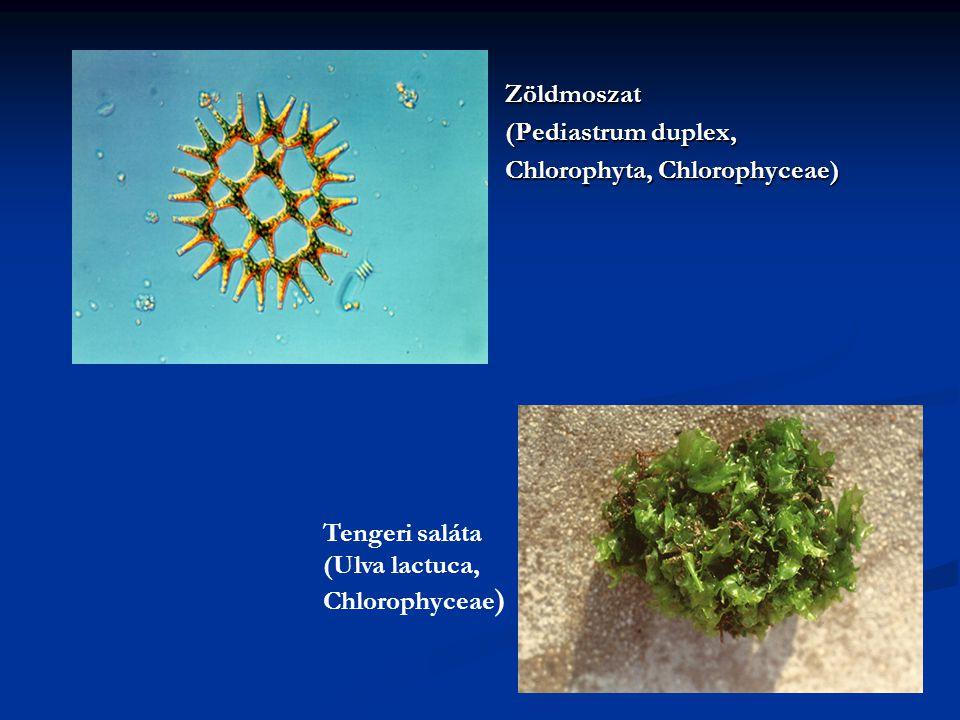 Zöldmoszat (Pediastrum duplex, Chlorophyta, Chlorophyceae) Tengeri saláta.