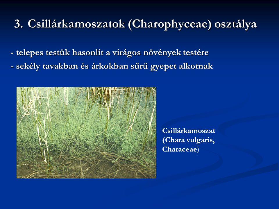 3. Csillárkamoszatok (Charophyceae) osztálya