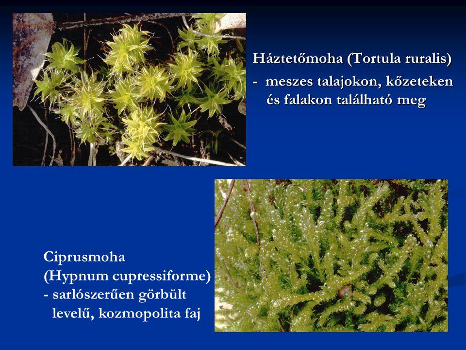 Háztetőmoha (Tortula ruralis)