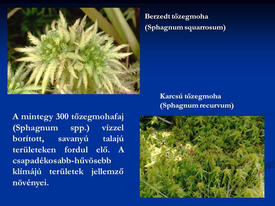 Berzedt tőzegmoha (Sphagnum squarrosum) Karcsú tőzegmoha (Sphagnum recurvum)