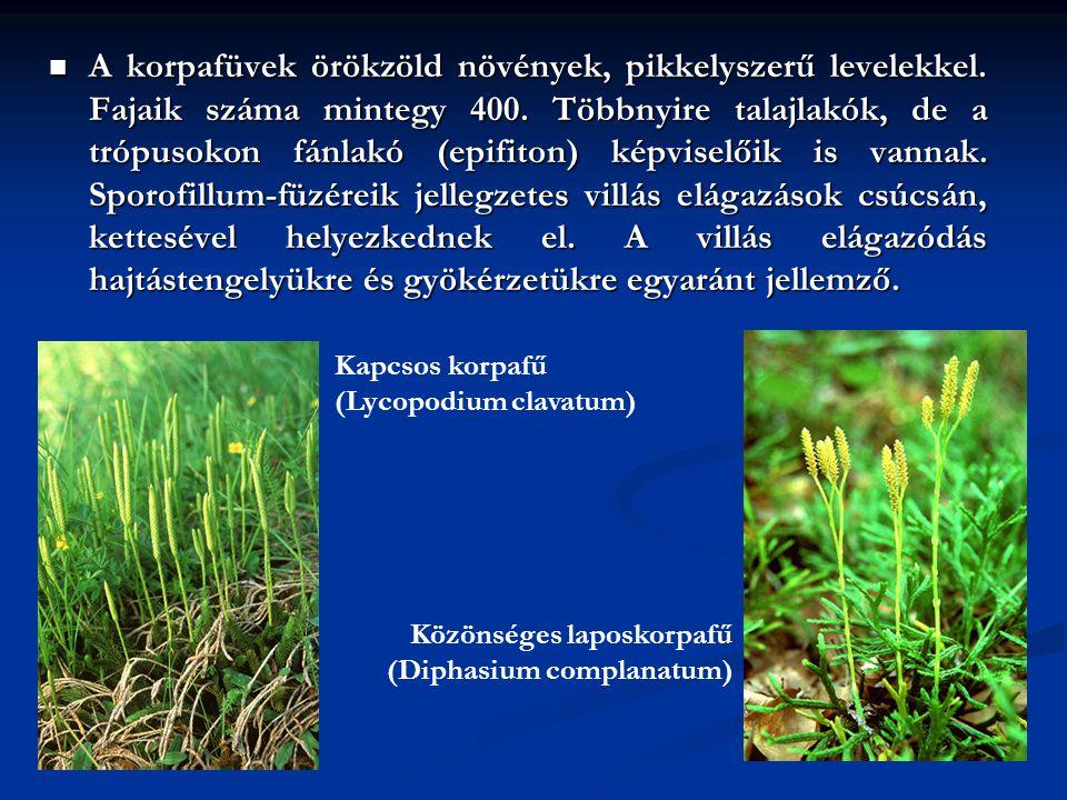 A korpafüvek örökzöld növények, pikkelyszerű levelekkel