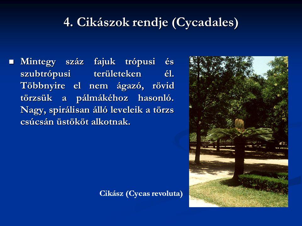 4. Cikászok rendje (Cycadales)