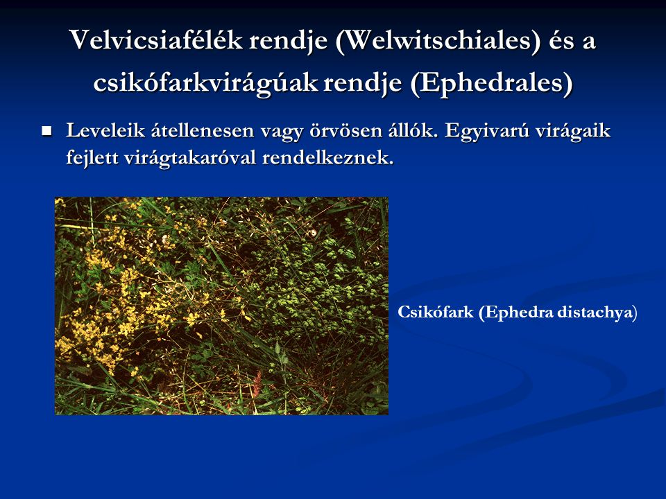 Velvicsiafélék rendje (Welwitschiales) és a csikófarkvirágúak rendje (Ephedrales)