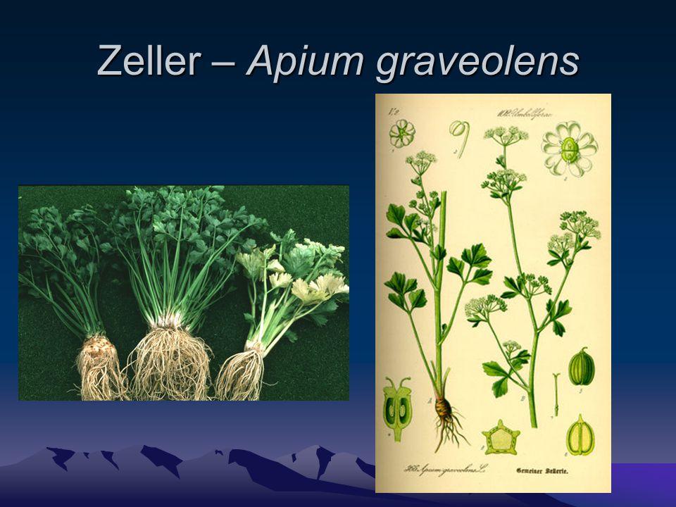 Zeller – Apium graveolens