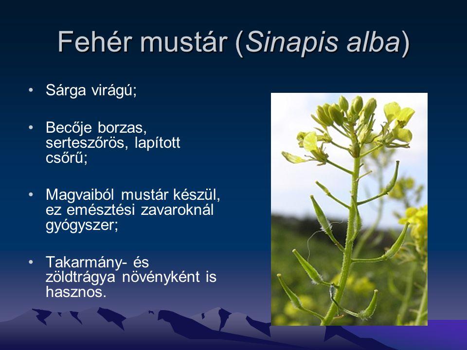 Fehér mustár (Sinapis alba)