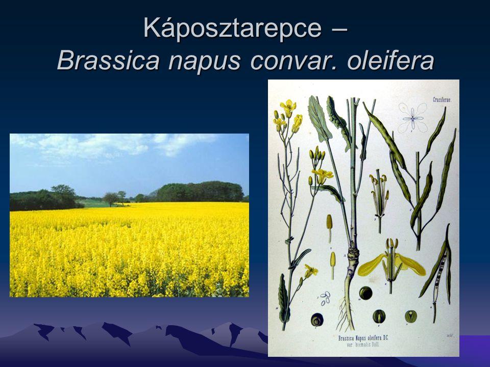 Káposztarepce – Brassica napus convar. oleifera