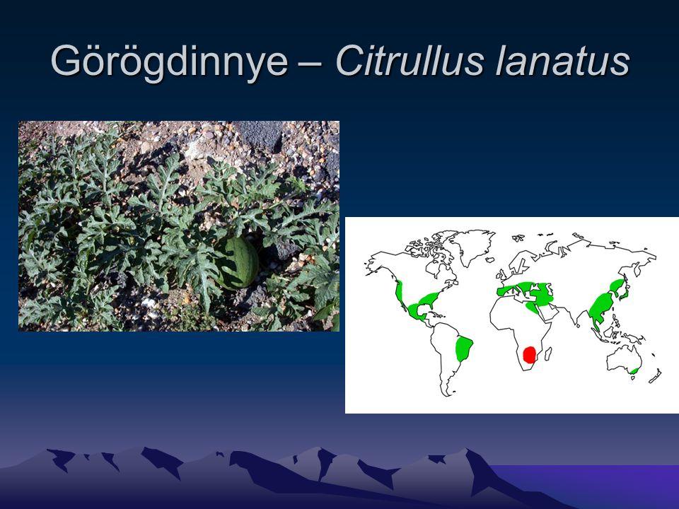 Görögdinnye – Citrullus lanatus