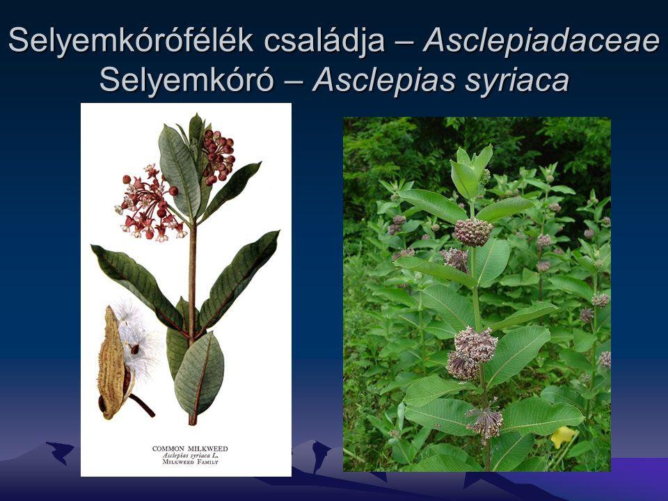 Selyemkórófélék családja – Asclepiadaceae Selyemkóró – Asclepias syriaca
