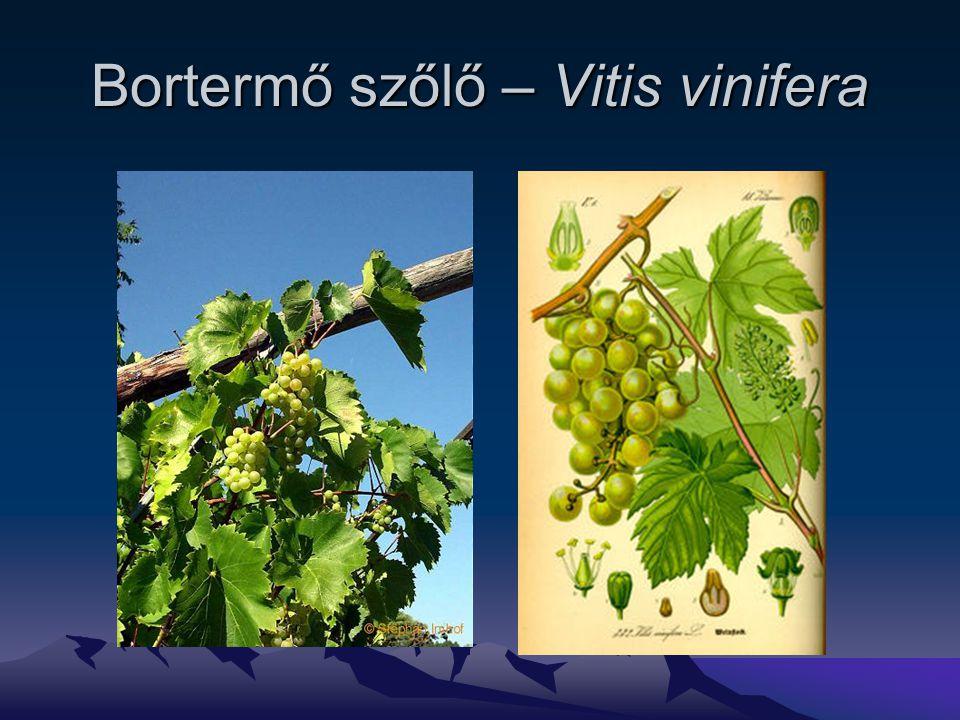 Bortermő szőlő – Vitis vinifera