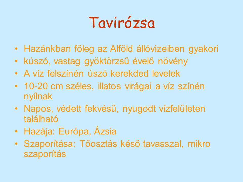 Tavirózsa Hazánkban főleg az Alföld állóvizeiben gyakori