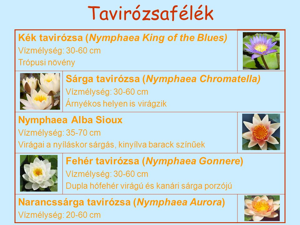 Tavirózsafélék Kék tavirózsa (Nymphaea King of the Blues)