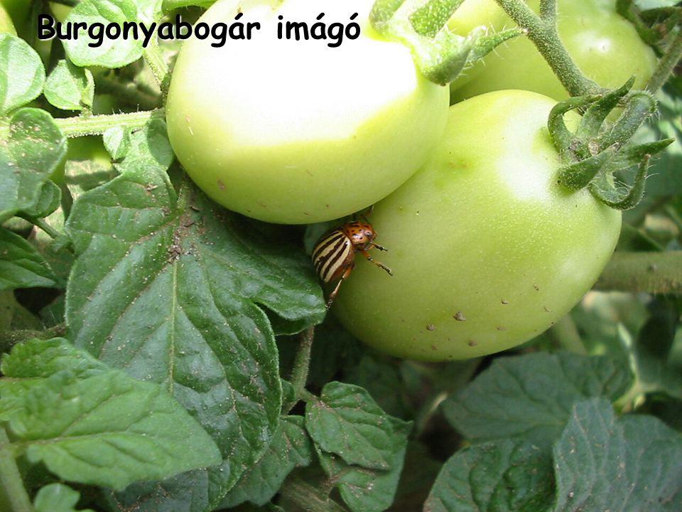 Burgonyabogár imágó