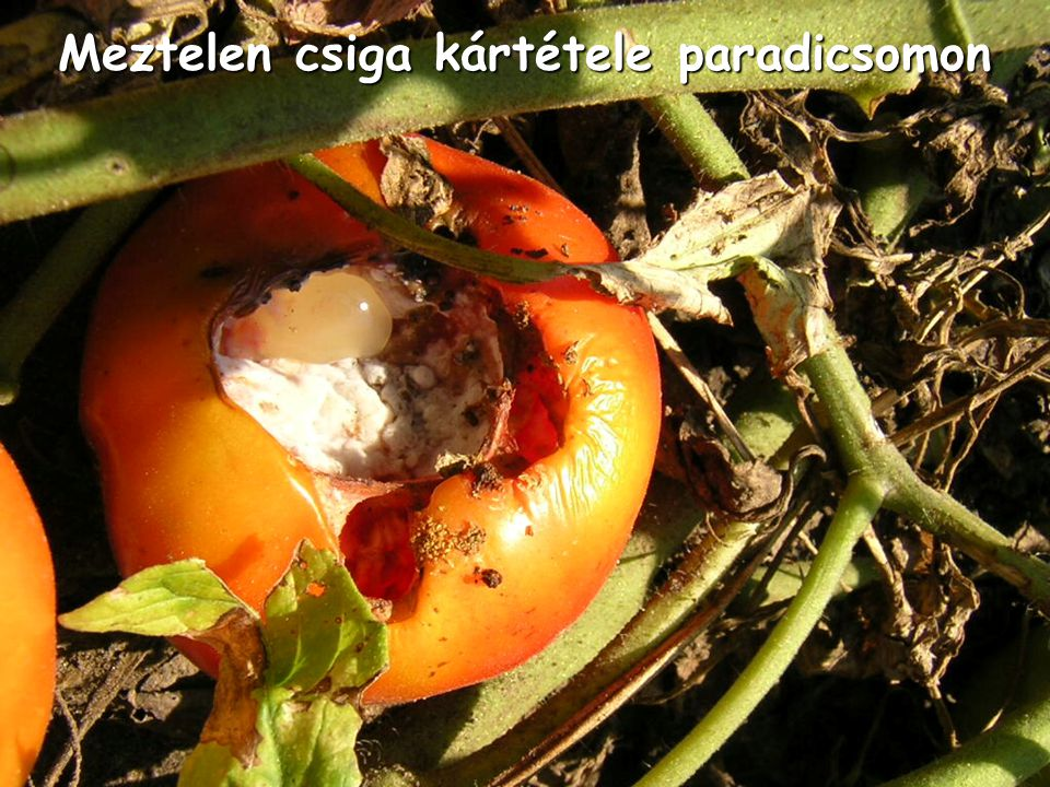 Meztelen csiga kártétele paradicsomon