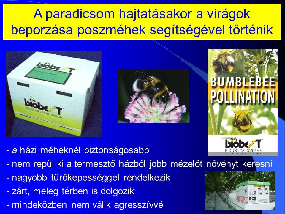 A paradicsom hajtatásakor a virágok beporzása poszméhek segítségével történik
