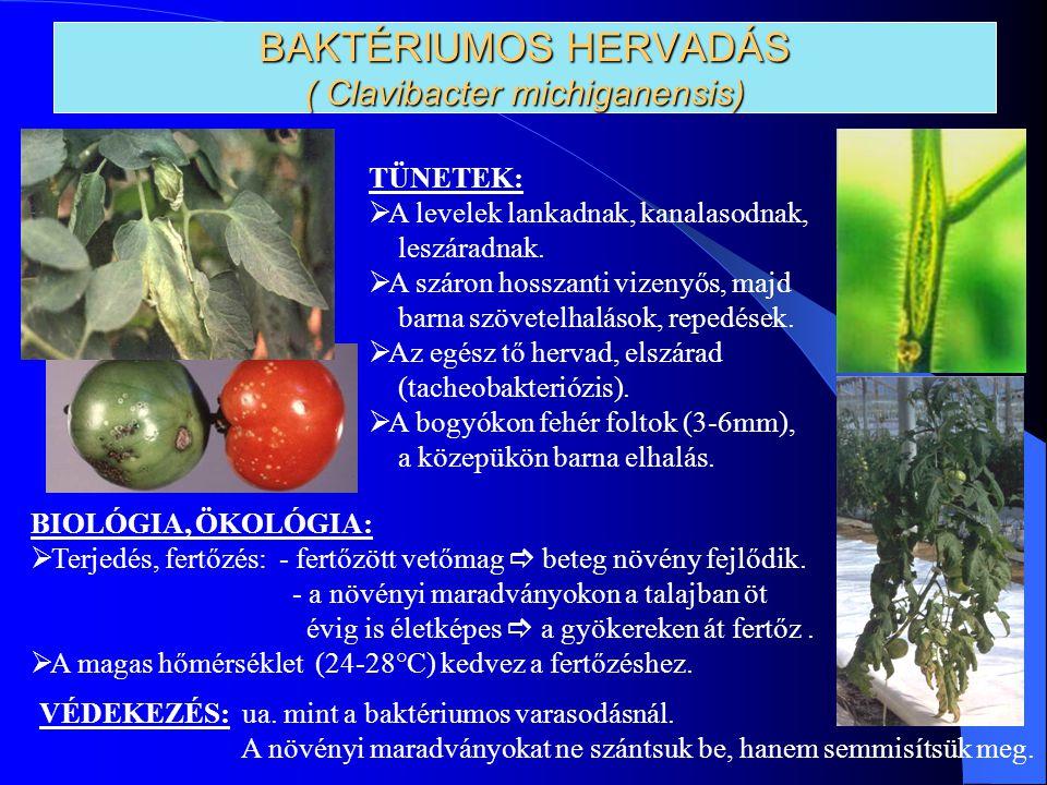 BAKTÉRIUMOS HERVADÁS ( Clavibacter michiganensis)