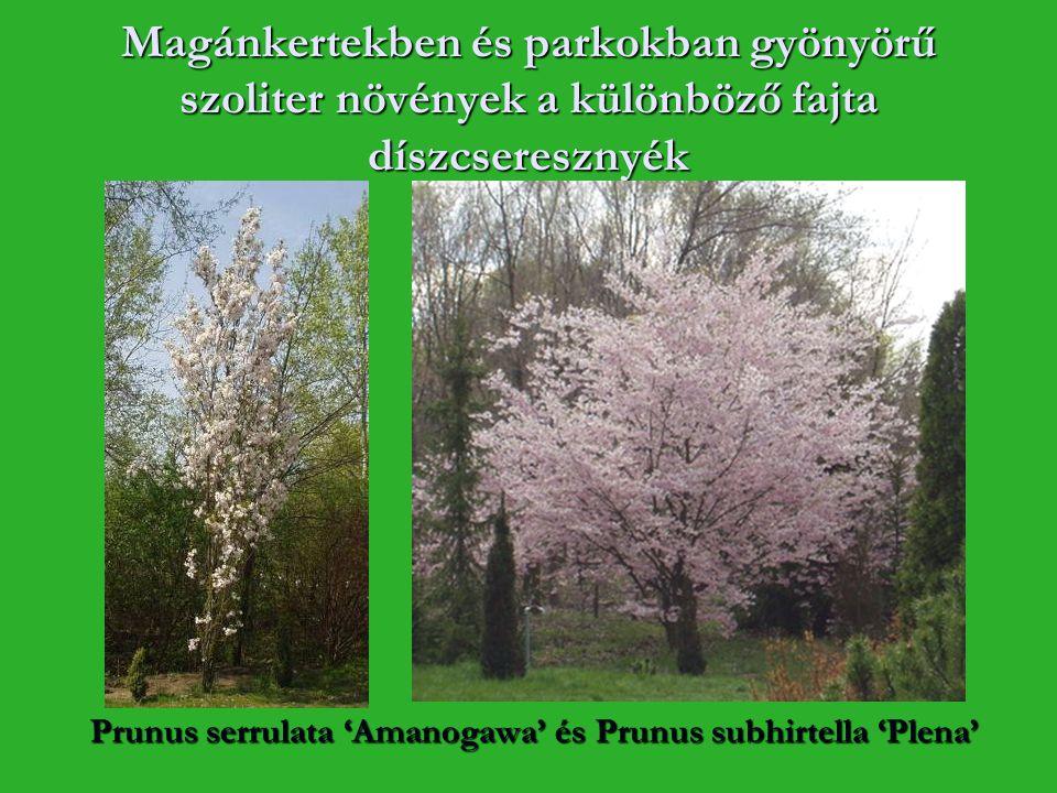 Magánkertekben és parkokban gyönyörű szoliter növények a különböző fajta díszcseresznyék