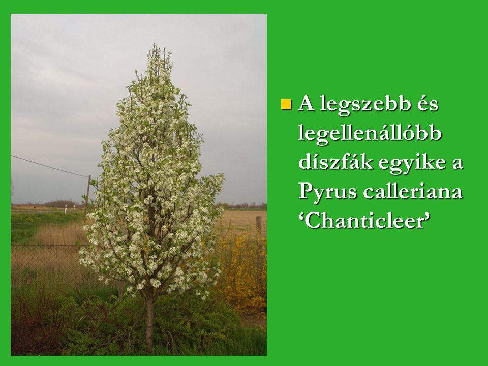A legszebb és legellenállóbb díszfák egyike a Pyrus calleriana 'Chanticleer'