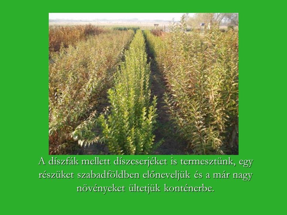 A díszfák mellett díszcserjéket is termesztünk, egy részüket szabadföldben előneveljük és a már nagy növényeket ültetjük konténerbe.