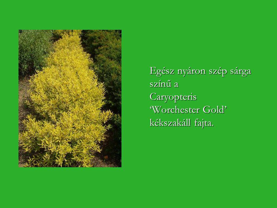 Egész nyáron szép sárga színű a Caryopteris 'Worchester Gold' kékszakáll fajta.