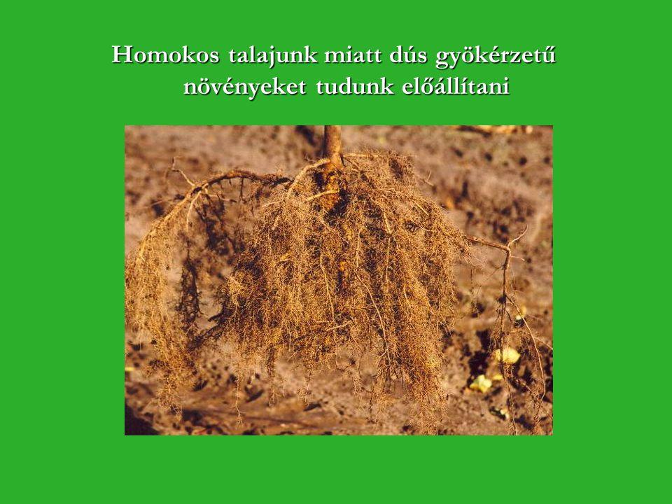 Homokos talajunk miatt dús gyökérzetű növényeket tudunk előállítani