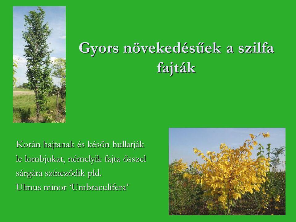 Gyors növekedésűek a szilfa fajták