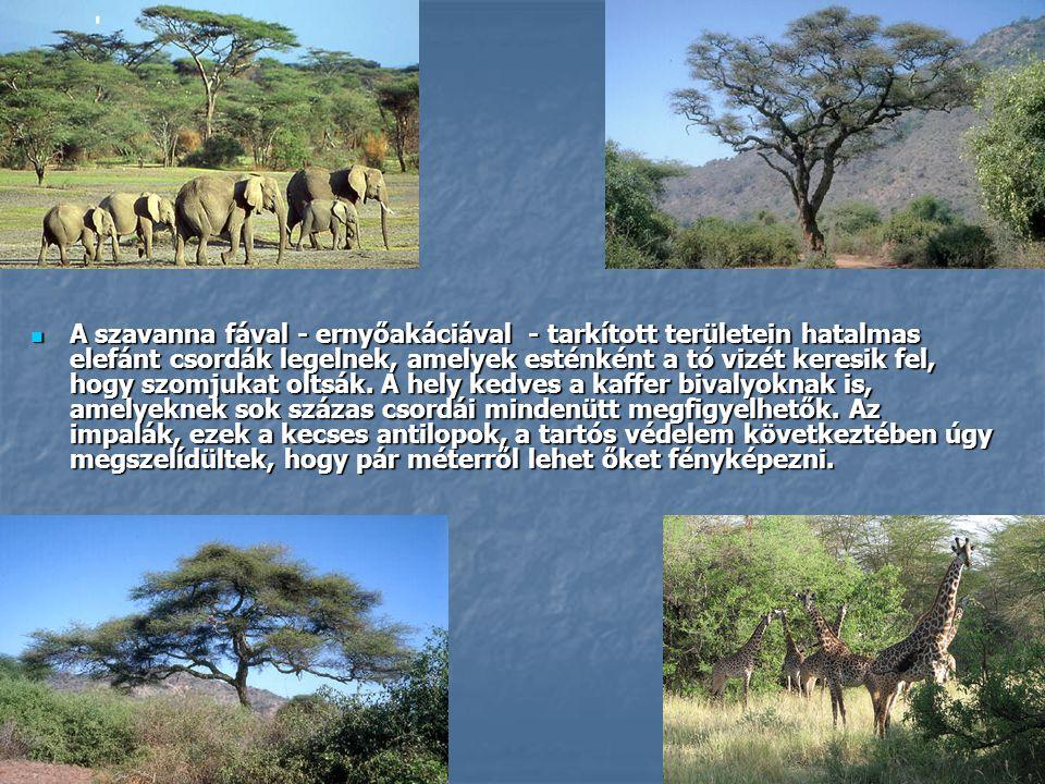 A szavanna fával - ernyőakáciával - tarkított területein hatalmas elefánt csordák legelnek, amelyek esténként a tó vizét keresik fel, hogy szomjukat oltsák.