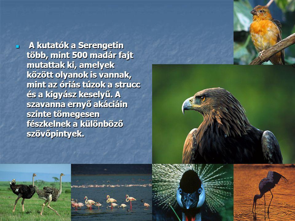 A kutatók a Serengetin több, mint 500 madár fajt mutattak ki, amelyek között olyanok is vannak, mint az óriás túzok a strucc és a kigyász keselyű.