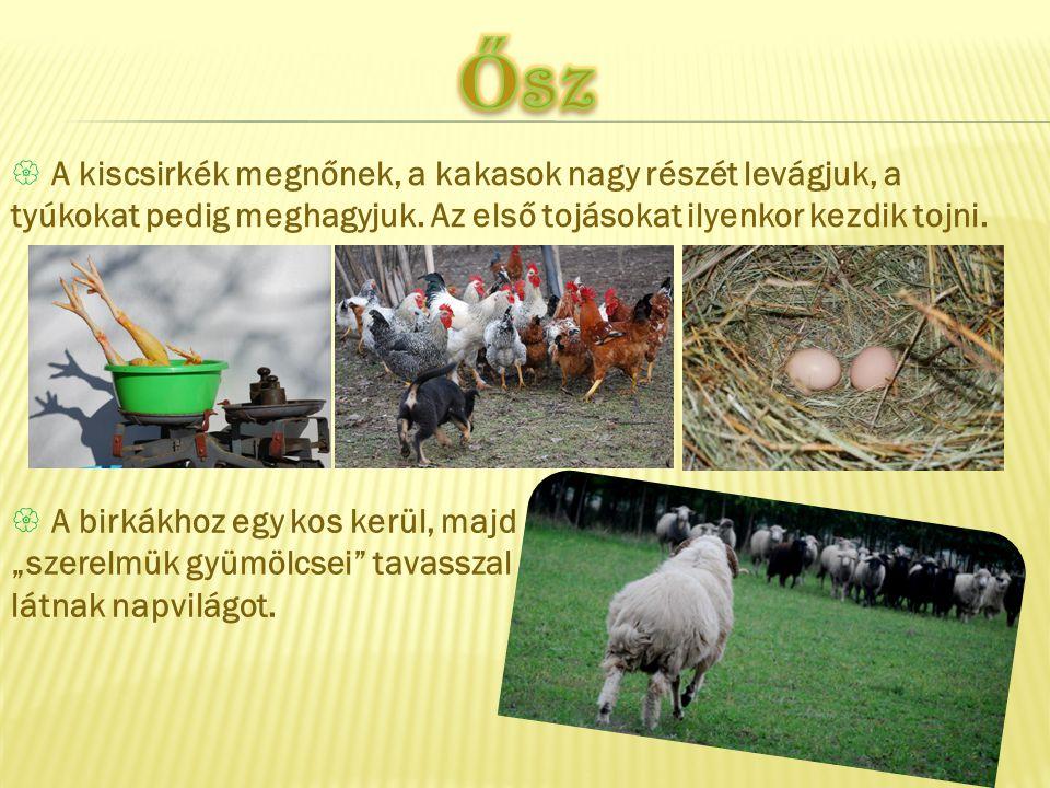 Ősz A kiscsirkék megnőnek, a kakasok nagy részét levágjuk, a tyúkokat pedig meghagyjuk. Az első tojásokat ilyenkor kezdik tojni.