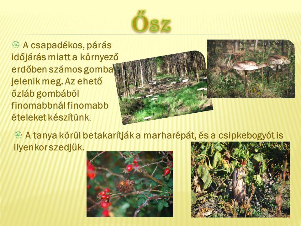 Ősz A csapadékos, párás időjárás miatt a környező erdőben számos gomba jelenik meg. Az ehető őzláb gombából finomabbnál finomabb ételeket készítünk.