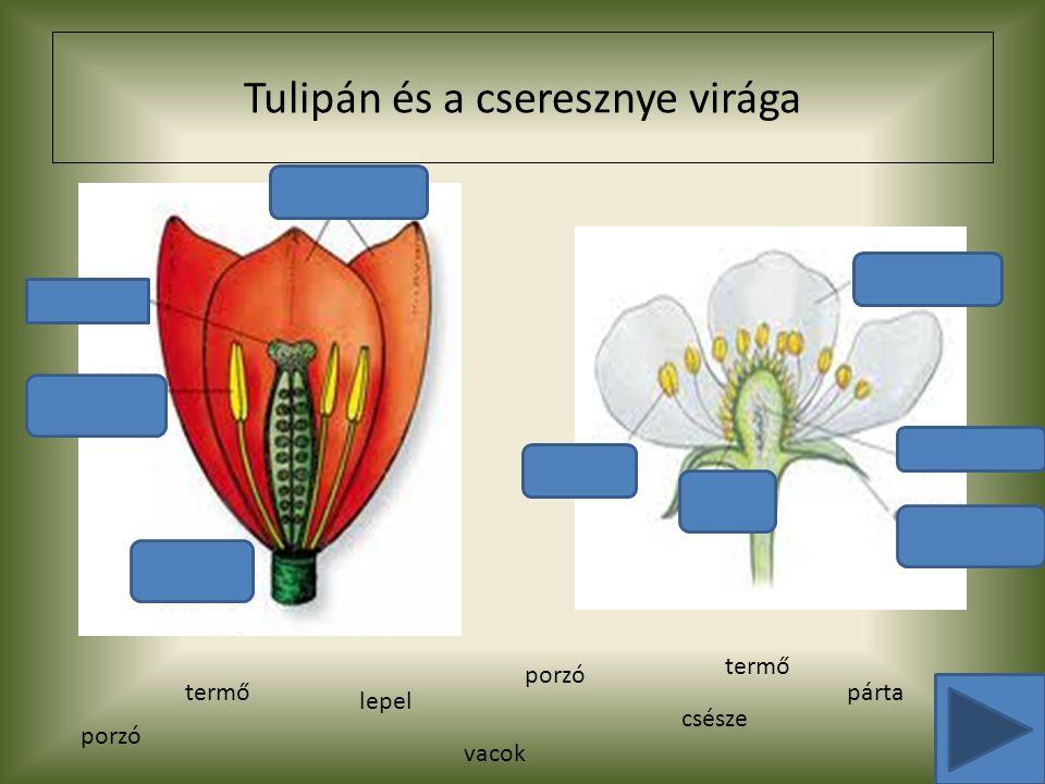 Tulipán és a cseresznye virága