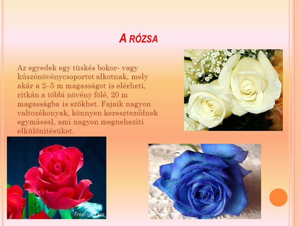 A rózsa
